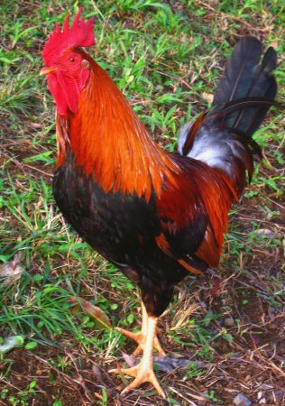 Feral rooster on Maui. Photo credit: flea55 on flickr.