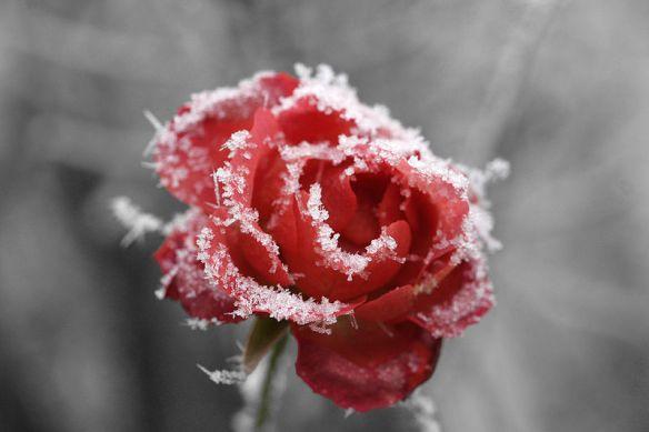"""Mit Reif vom Nebel belegte Rose."" Photographer: Armin Kübelbeck, CC-BY-SA, Wikimedia Commons"